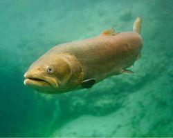 Danube salmon fishing